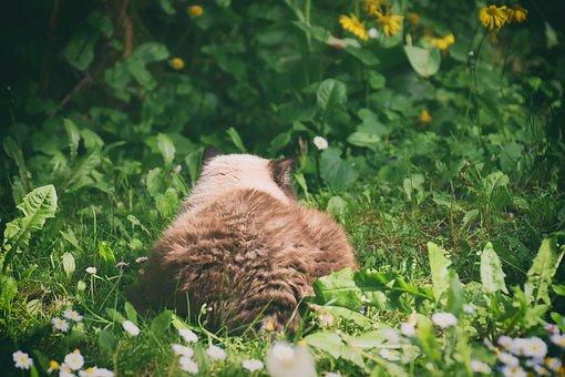 Cat, British Shorthair, Domestic Cat