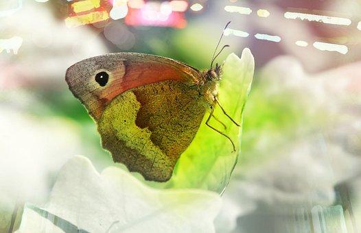 Przestrojnik Jurtina, Female, Butterfly, Insect