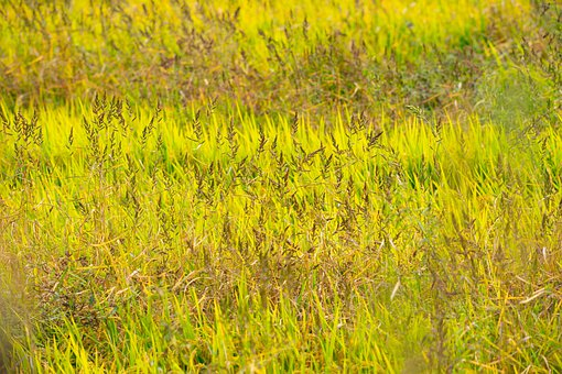 Rice Paddy, Autumn, Yellow, Food, Field