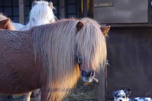 Pony, Head, Mane, Standard