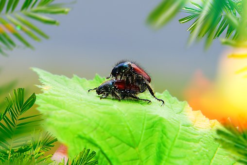 The Beetles, Copulation, Insects, Antennae, Italian