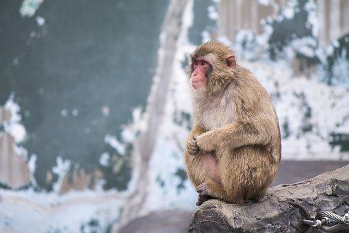 Ape, Japanese, Japan, Asia, Culture, Zoo