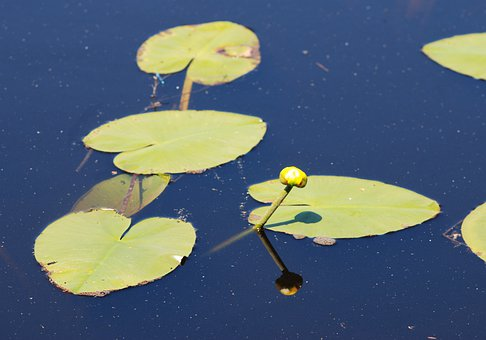 Lilly Pads, Water, Pond, Green, Lake, Summer