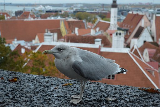Estonia, Bird, Europe, Nature, City, Tallinn