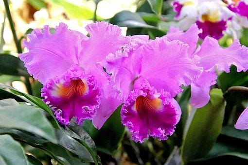 Orchid, Purple Colour And Dark Purple, Plants, Flowers