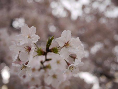 Sakura, Japan, Spring, Petal, Outdoors