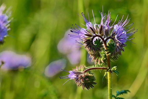 Nature, Phacelia, Bees, Tufted Flower