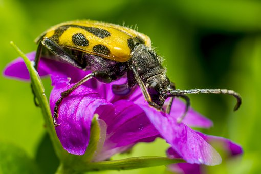 Beetle, Flower, Macro, Insect, Pest, Portrait, Closeup