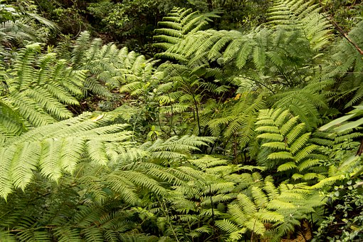 Ferns, Fronds, Foliage, Green, Forest, Queensland