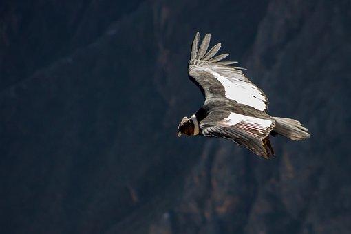 Condor, Andean Condor, Peru, Raptor, Bird