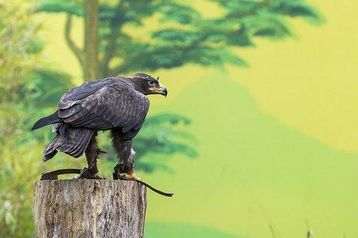 Adler, Zoo, Steppe Eagle, Bird, Raptor, Sitting