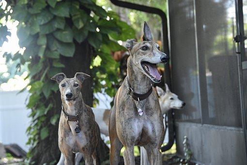 Greyhound, Sight Hound, Dog, Retired Racing Dog, 45mph