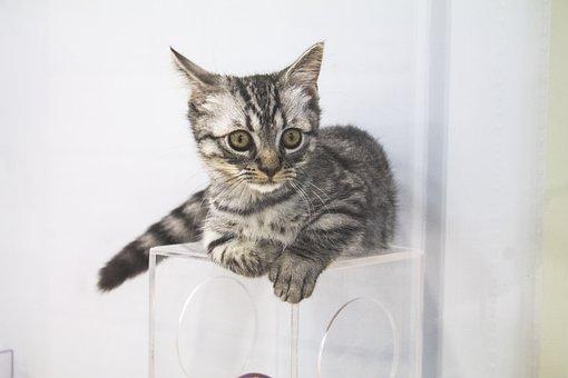 Cat, Grey, Striped, Kitten, Pet, Animal