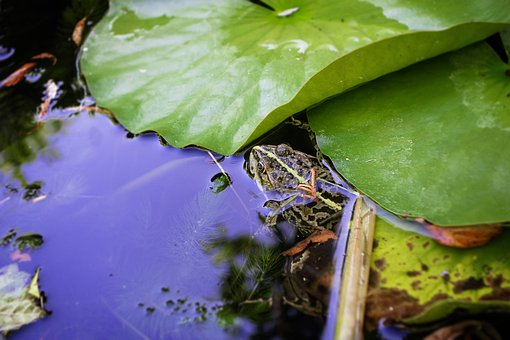 Frog, Pond, Nature, Green, Water, Water Lily