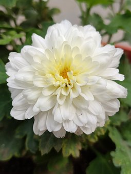 White Flower, Flower, White, Chamanti Flower, Chamanti