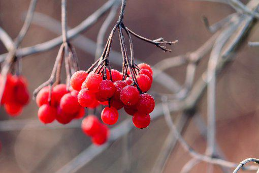 Berries, Fruits, Wild Shrub Hedge, Hedge, Bush, Red
