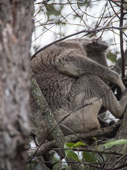 Koala, Sleepy, Marsupial, Wild, Grey