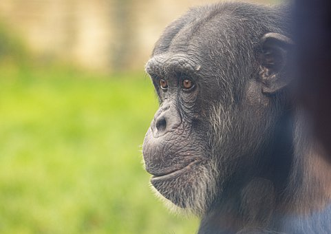 Chimpanzee, Zoo, Ape, Monkey, Black, Eyes, Portrait
