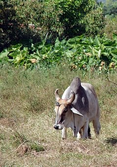Cuba, Zebu, Beef, Cow, Field, Caribbean, Agriculture