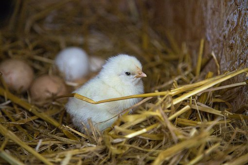 Chicks, Straw, Nest, Yellow, Easter Chick, Animal, Cute