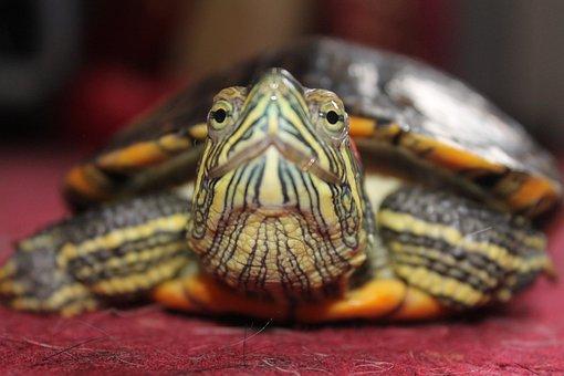 Turtle, Water Turtle, Underwater, Animal