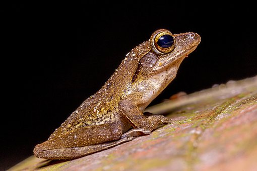 Frog, Portrait, Thailand, Asia, Nature