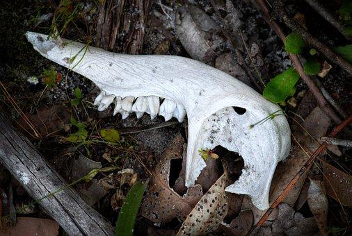 Jawbone, Skull, Skeleton, Death, Bone, Teeth, Animal
