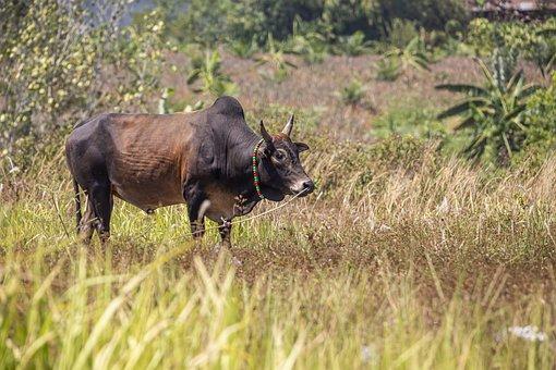 Bull, Ox, Livestock, Cow, Animal, Farm, Mammal, Horns