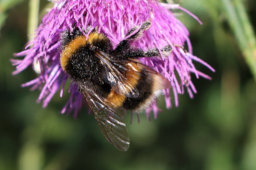 Bumblebee, Wings, Flowers, Pollination, Insect, Nature