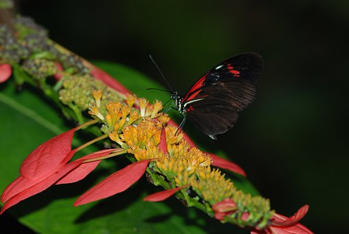 Butterfly, Red, Black, Small, Insect, Feeding, Close-up