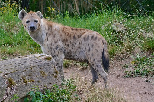Nature, Animal World, Hyena, Predator, Carnivores