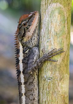 Emma Gray'S Forest Lizard, Calotes Emma
