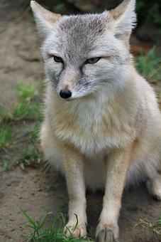 Steppevos, Fox, Predator, Hondachtige, Zoo, Faunapark