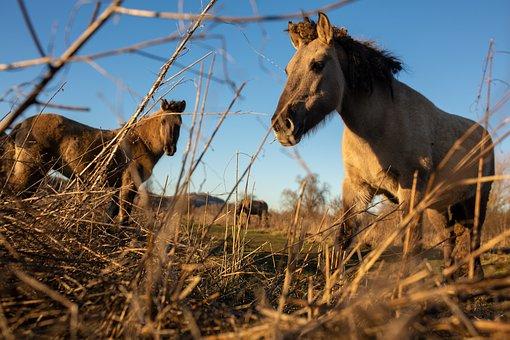 Horses, Creator, Animals, Nature, Grasses, Field