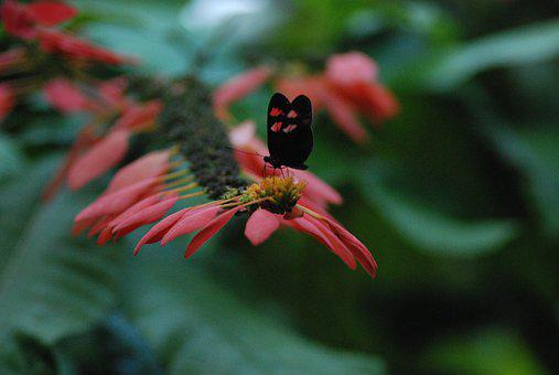 Butterfly, Red, Nature, Floral, Summer, Black