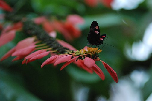 Butterfly, Red, Black, Perched, Small, Insect, Floral