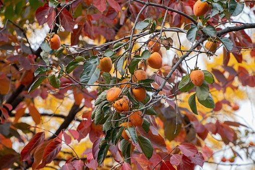 Persimmon, Autumn, Food, Red, Color, Korea, Fruit, Wood