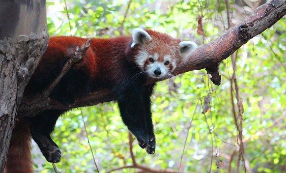 Red, Panda, Animal, Wildlife, Mammal, Furry, Cute, Lazy