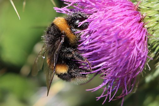 Bumblebee, Flowers, Pollination, Insect, Nature, Garden