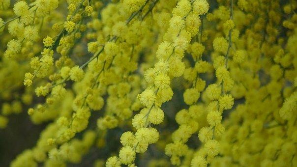 Mimosa, Yellow Flower, Summer, Italy
