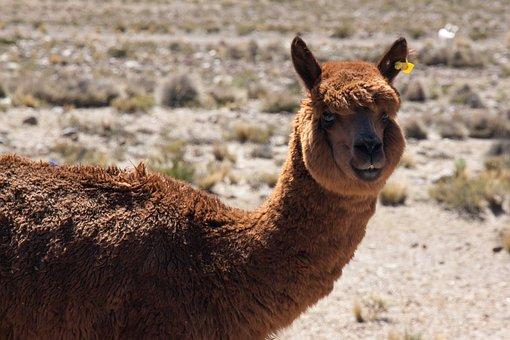 Lama, Peru, Animal, Head, Furry, Livestock