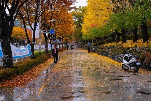 Street, Rain, Autumn, Maple, Leaves, Korea, City, Wet