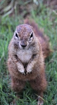 Cape Ground Squirrel, Iphone, Lockscreen, Background
