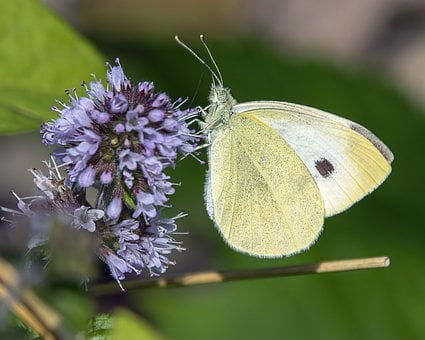 Large White, Butterfly, Nature, Insect, Summer