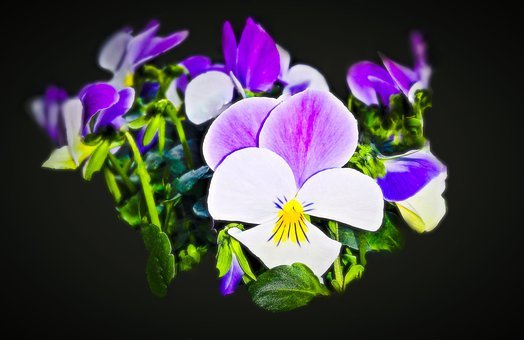 Flowers, 400–500, Pansy, Spring Flowers, Isolated
