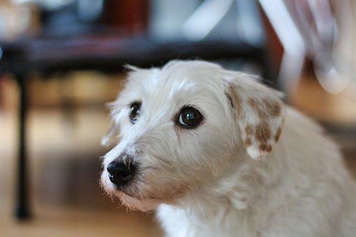 Terrier, Parson Russel Terrier, Pet, Purebred, Dog Look
