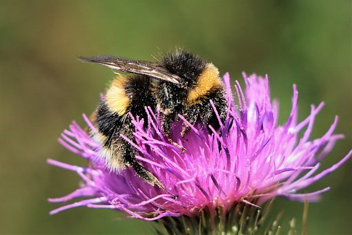 Bumblebee On Top, Flowers, Pollination, Insect, Nature