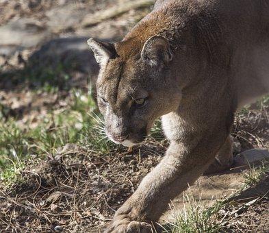 Puma, Animal World, Animal, Silent, Cat, Sneak Up On