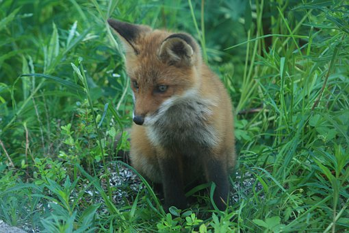 Red Fox, Young Animal, Forest Animal, Cute, Wild