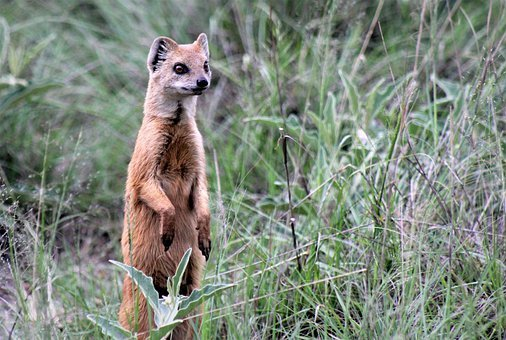 Red Meerkat, Upright, Lookout, Curious, Red, Mongoose